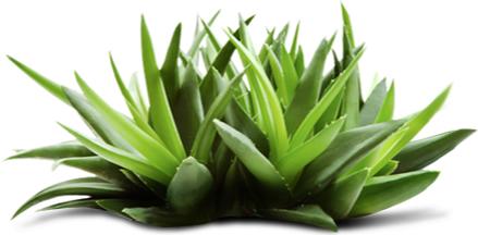 Manualidades belleza ecolog a y m s los beneficios del aloe vera o s bila para la piel - Como es la planta de aloe vera ...